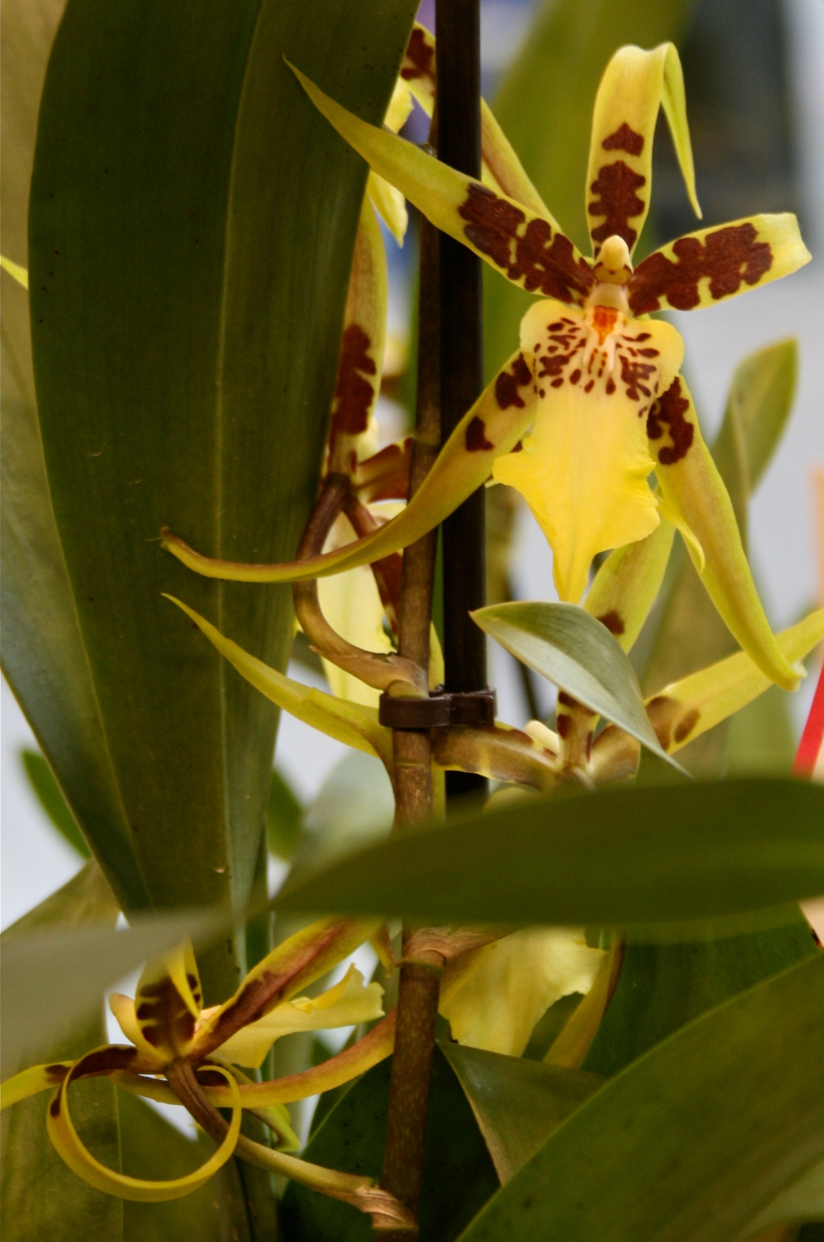 Spider orchid plant with flowers
