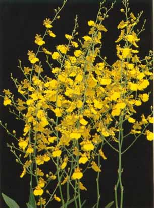 Yellow Oncidium Orchid plants